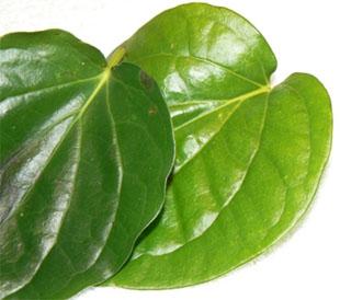 The betel leaf
