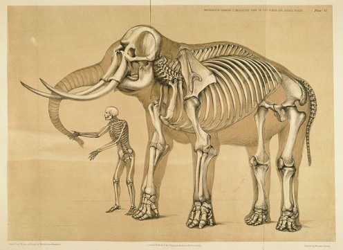 Human and Elephant skeletal frames, drawn in 1860 by Benjamin Waterhouse Hawkins.