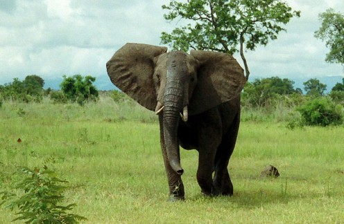 Green open places provide running room for elephants.