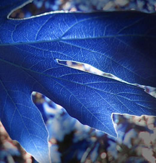 Freshly-picked theta birq leaves.