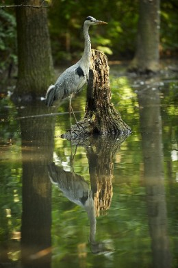 A great blue heron waiting for a meal
