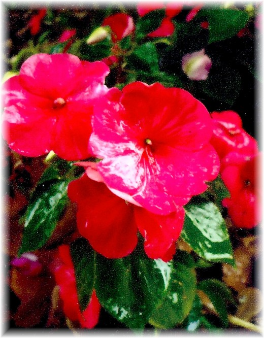 Impatiens in our garden