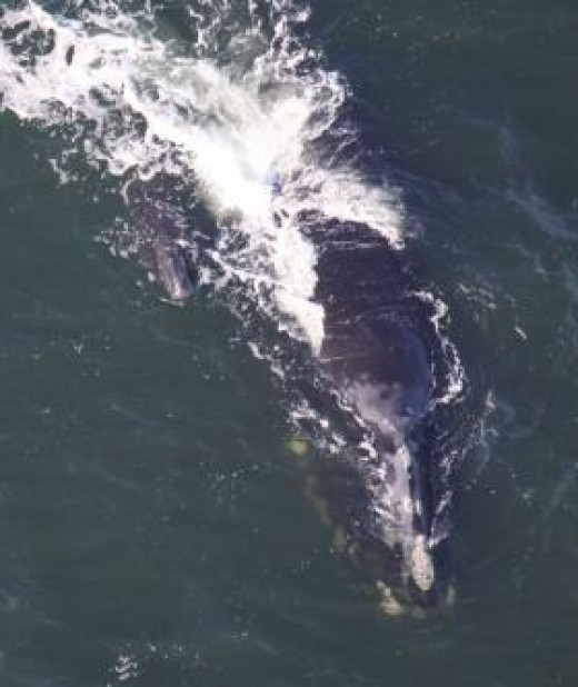 The first right whale calf of the 2009 season was spotted Dec. 22 off the coast of Jekyll Island. The mother of the first calf is named Aphrodite. She is a 23-year-old female and this is her fifth calf. (Courtesy of Wildlife Trust