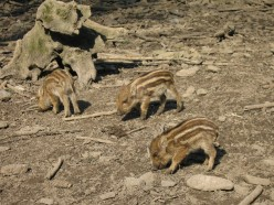 Wild pigs were introduced by Ponce De Leon in the 1500's