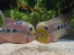 How to Breed Flowerhorns in Aquariums