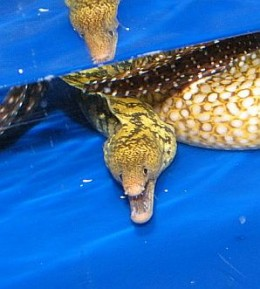 We also have a huge aquarium dept at Drs Foster and Smith. I met this lil fella on a tour during training.