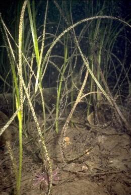 Eelgrass. The crabs are close.
