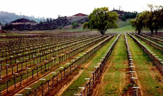 Planted vineyard looking toward the winery