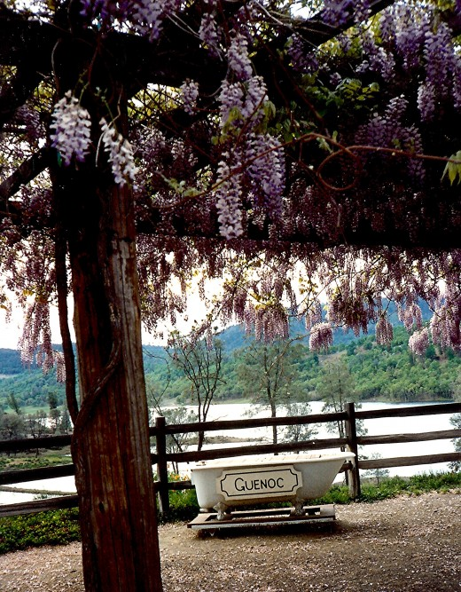 The wisteria was in full bloom at the winery.