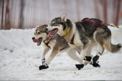 The Great Iditarod Trail Sled Dog Race
