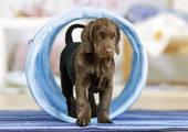 canine agility training