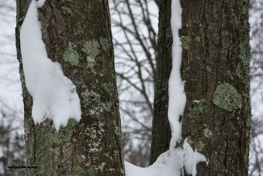 Lichens add a bit of green to the winter -- and they're everywhere.