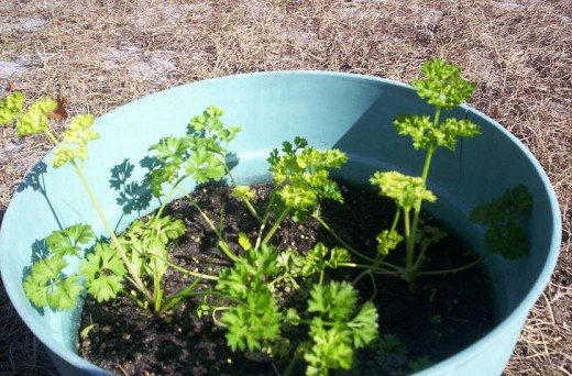 Parsley in a pot. You do not need to thin the plants that much. I did because I have more outside.