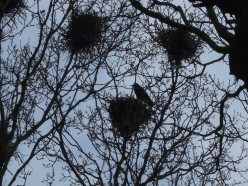 Crows in their nests in the Grove, Felixstowe