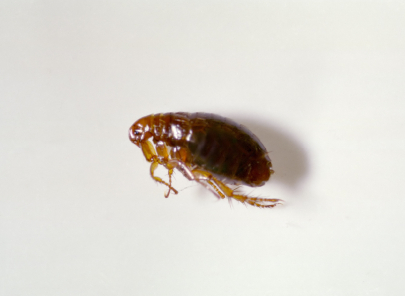 A dog flea.