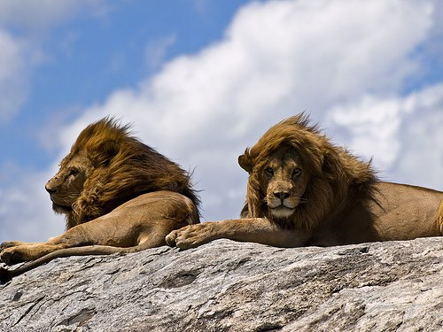 Are these male lions friends or lovers? Image source: http://farm3.static.flickr.com/2355/2404544591_ebb0f0aa2b.jpg