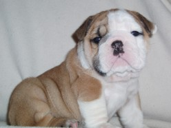 Caring for English Bulldog Puppy by Nightingale Bullies