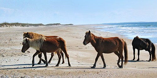 Wild Horses at Cape Lookout