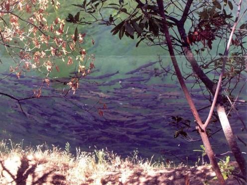 Lower Butte Creek salmon