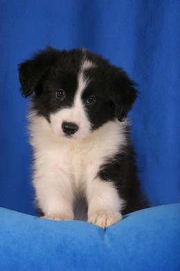 An adorable Border Collie Puppy!