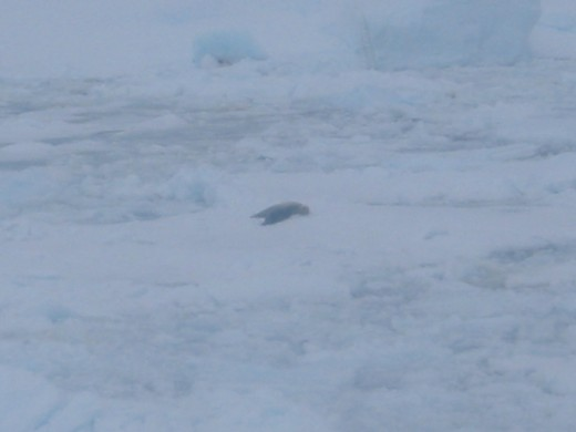 Seal on Pack Ice in Antarctica