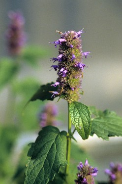 Herbs to attract Butterflies to your Garden