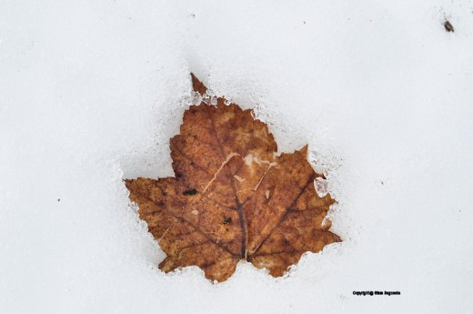 A leaf melts snow leaving its pattern behind.