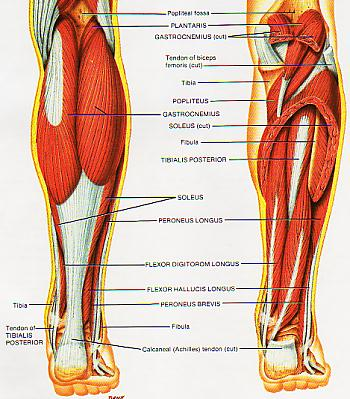 Lower leg muscle group anatomy