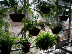 My Pet Ferns -- dedicated to hubber Nan Mynatt