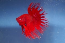 Betta Fish Diseases Can Be Prevented