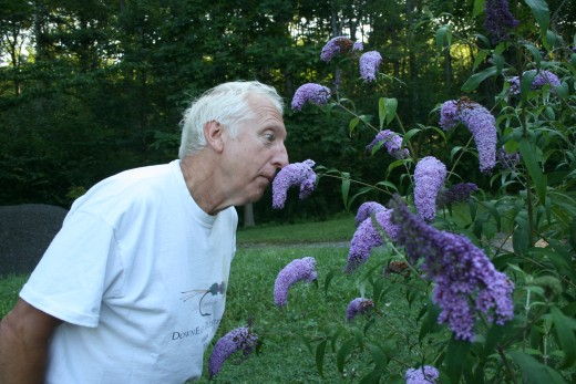 Watch out crab spiders! DrTom's big nose is stuck in the flower of a butterfly bush.