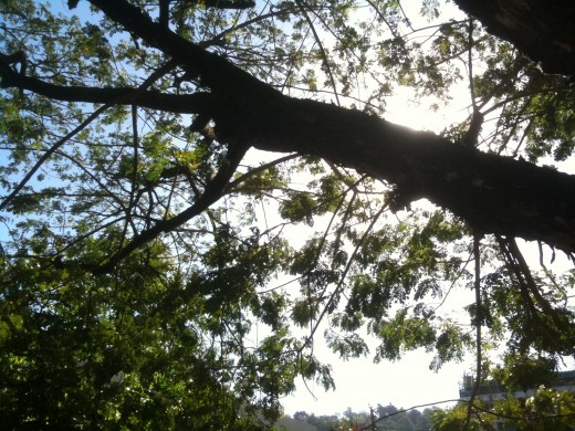 Shade tree at public market in Olongapo Philippines