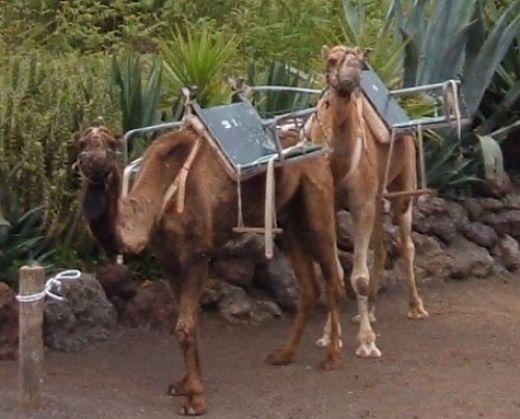 Camel centre