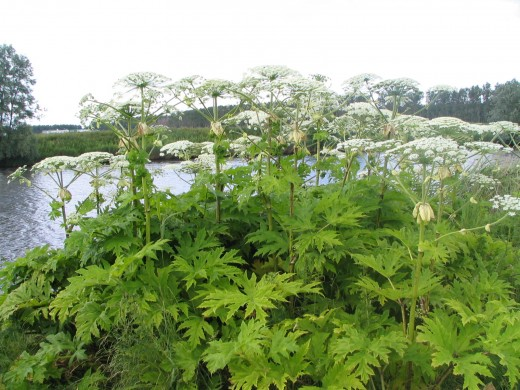 The dangerous giant hogweed is usually found by rivers but they also frequent other situations. Photograph courtesy of GerardM