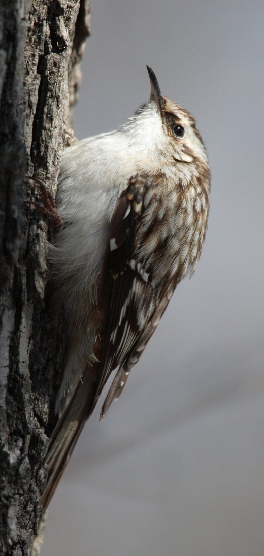The tree creeper is found wherever there are trees at the park. However, it is not easily seen as the bird is well camouflaged. Photograph courtesy of Mdf {G.F.D.L.}