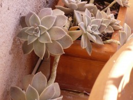 Mother-of-Pearl plant
