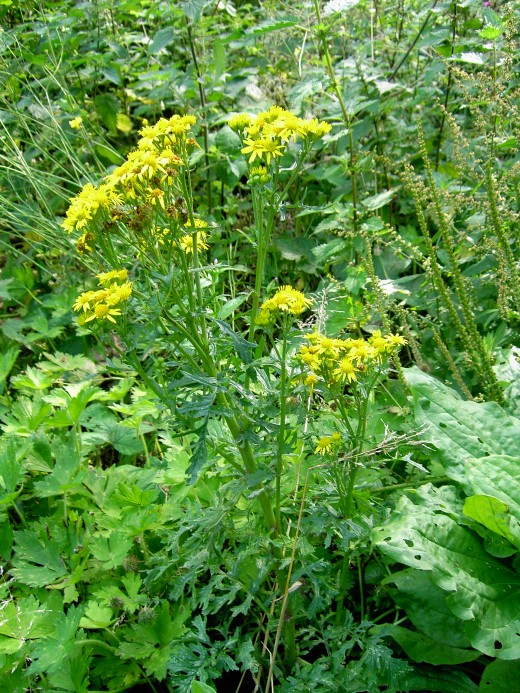 ragwort joins the fray during the summer months