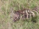 .....and the zebra she killed