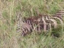 .....and the zebra she killed