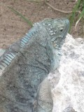 Blue Iguana Recovery Program - Saving an Endangered Species