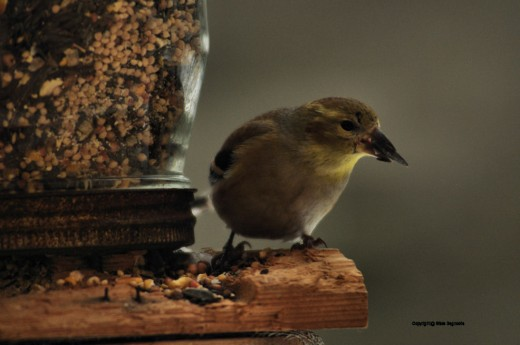 This finch spent a lot of time turning its beak, working over, each sunflower seed it picked from a mix in a feeder. It would work on all sides of the seed, eventually freeing the kernel inside.