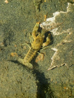 How to Catch Crayfish