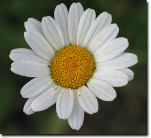 THE DOG DAISY IS A PRETTY FLOWER, BUT IT IS NOT RECOMMENDED FOR HOME DISPLAYS