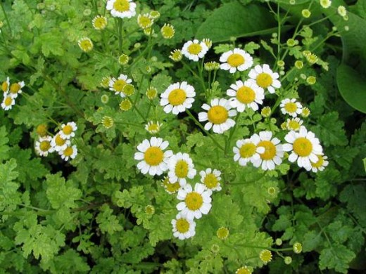 Feverfew is claimed to cure migraines.