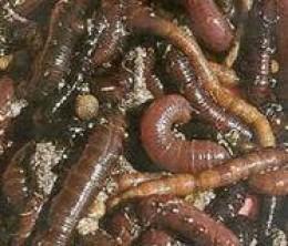 Lug Worm