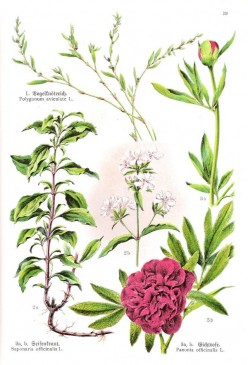 Saponaria officinalis, or soapwort, is a pretty herb and makes great shampoo and laundry/general cleaning detergent.