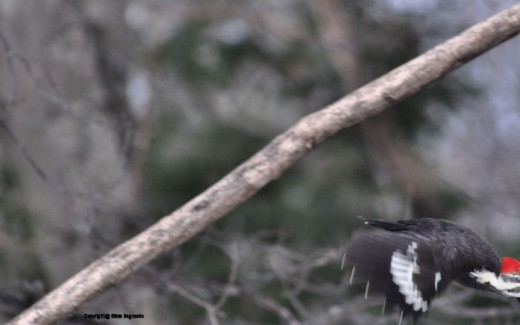 A pileated woodpecker flies out of the frame.