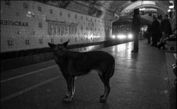 Evolution or De-Evolution:  The Metro Dogs of Moscow