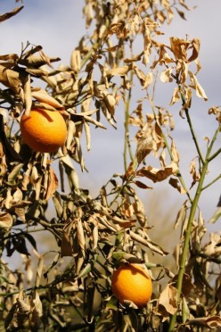 California Oranges: A Dying Breed