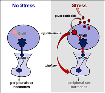 The normal brain and the one on stress.